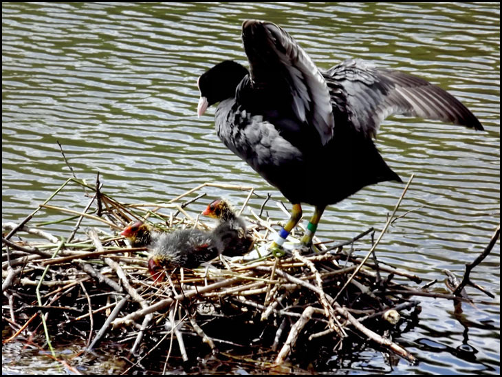A coot and her chicks