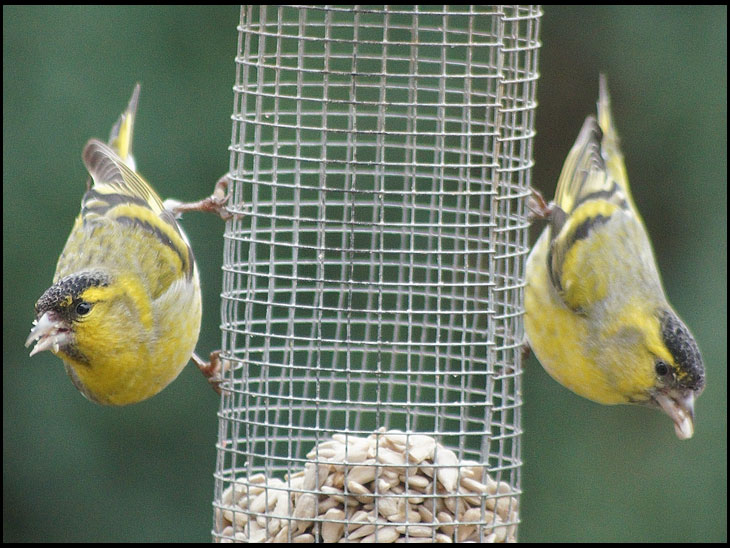 A pait of siskins