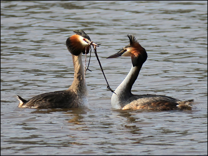 Courting Great crested Grebes