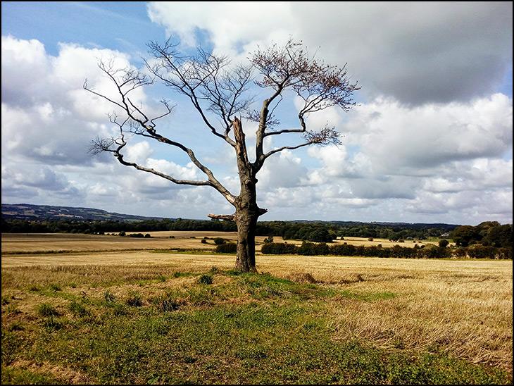 Old tree in barley fields