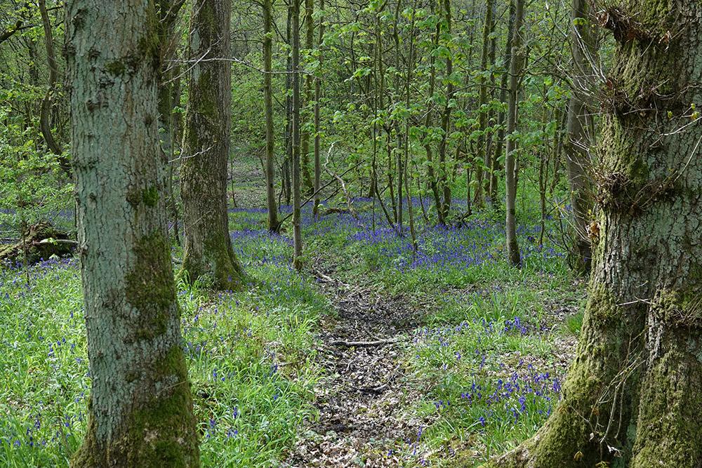 Bluebells in Elnup Wood