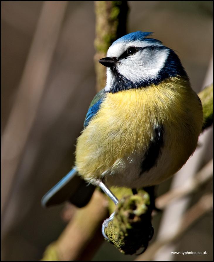 Little Bluey