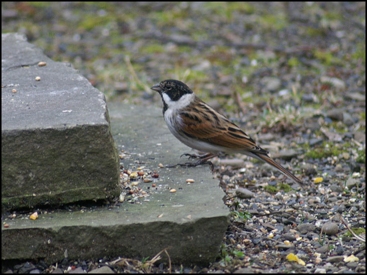 A male Reed Bunting