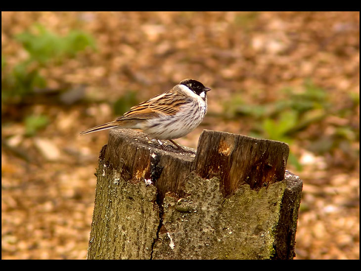 Reed Bunting at Orrell reservoir