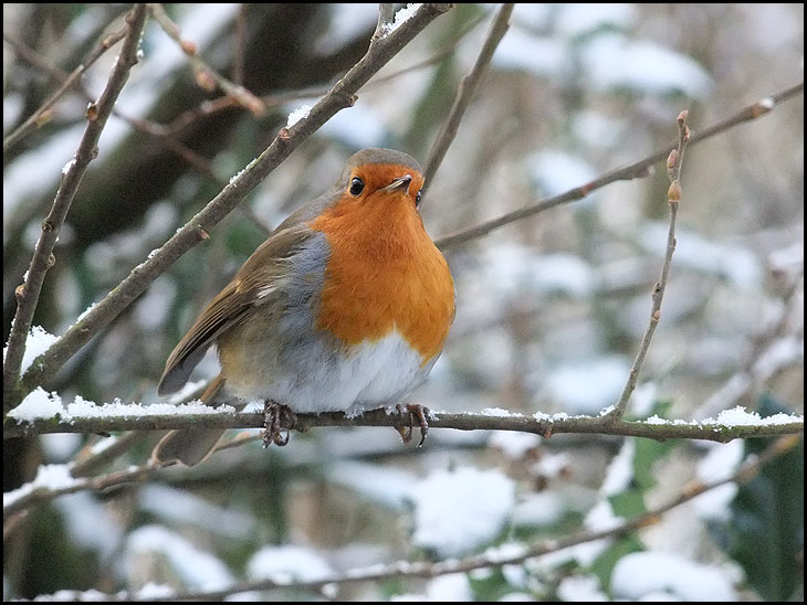 Little Fat Robin