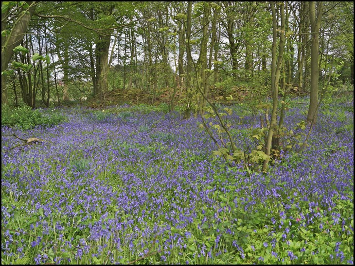 Bluebell Woods - at The Hermitage, Standish.