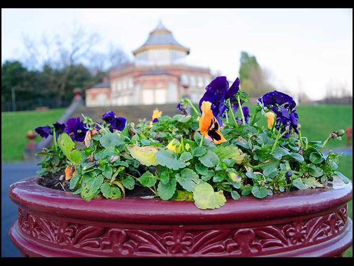 Pansy in the park