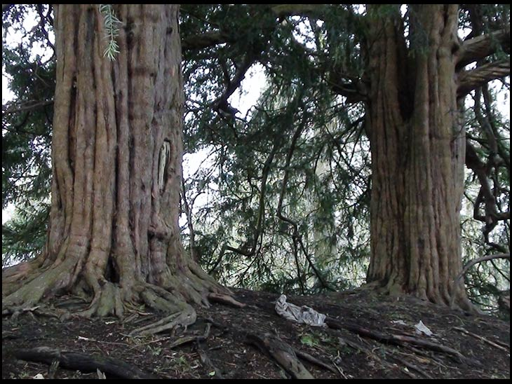 Ancient Yew Trees
