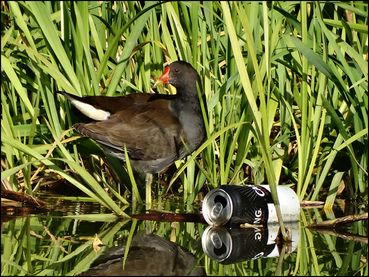 Moorhen with beer can