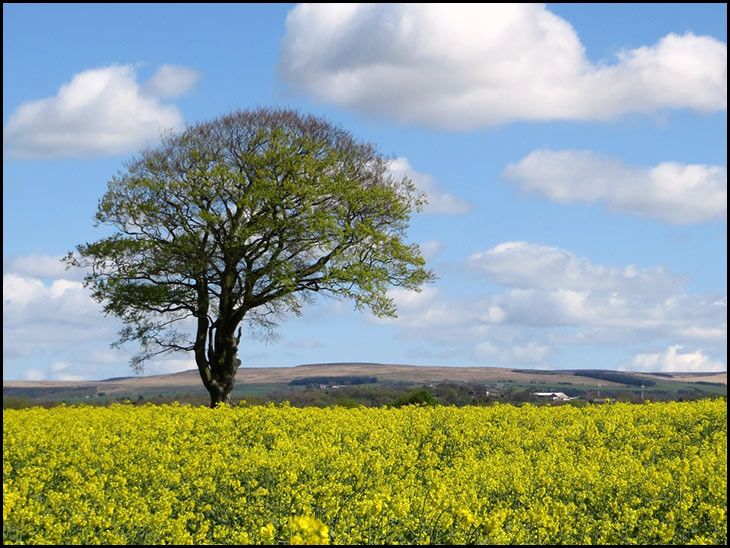 Rape seed fields