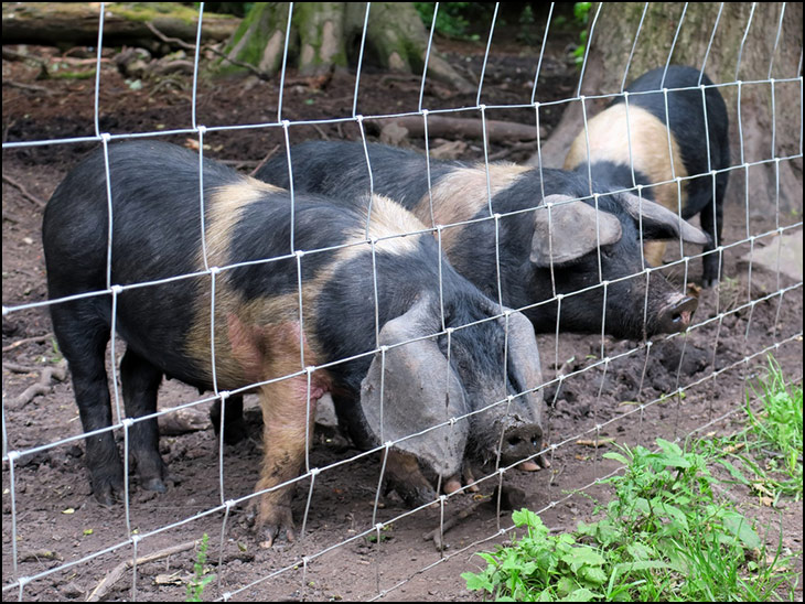 Conservation pigs