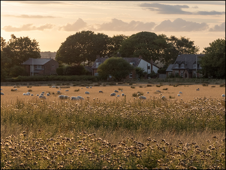 Sheep In Field At Sunset