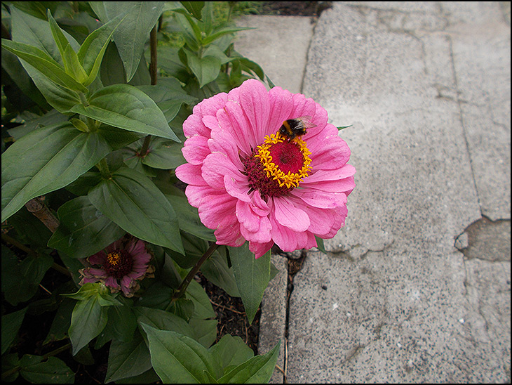 Zinnia with Bumblebee
