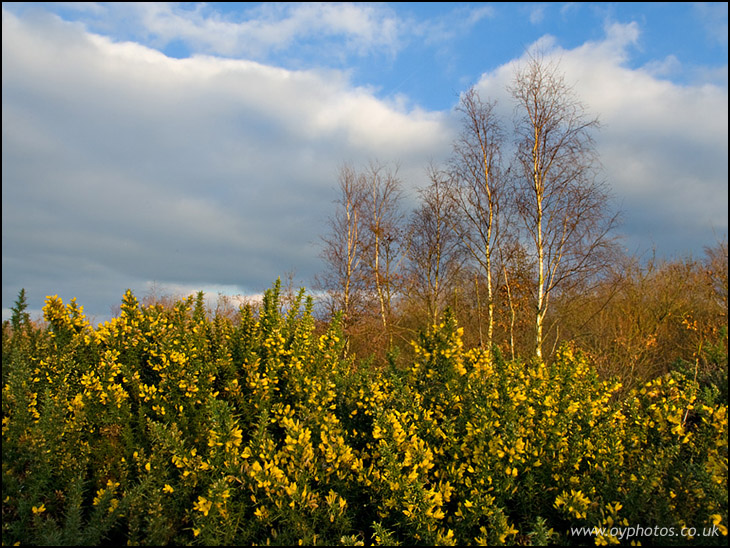 Gorse and Birch