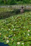 Pond and Lillies